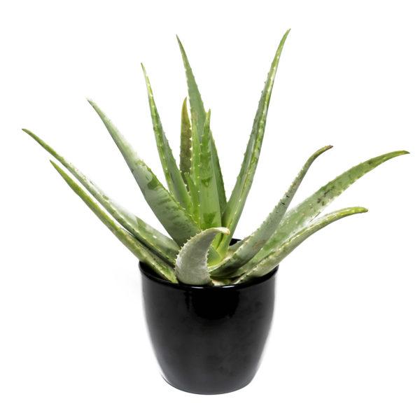 Planta Aloe Vera Grande