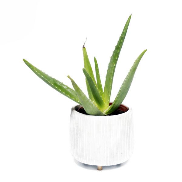 Planta Aloe Vera pequeña