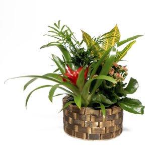 Centro variado planta natural