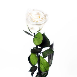Rosa Preservada Blanca