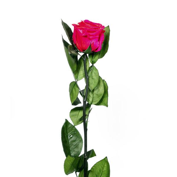 Rosa preservada Fucsia