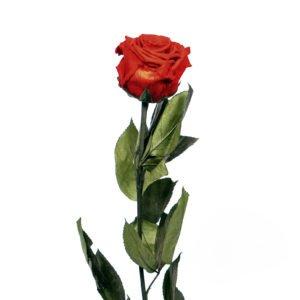 Rosa Preservada Roja